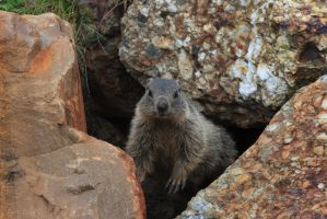 Marmots by Daan-NL