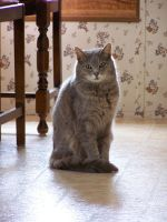 Gray Cat Indoors4 by effing-stock