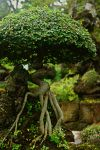 Bonsai Tree in Jeju-do by toosik