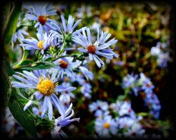 Blue New England Asters by sherln