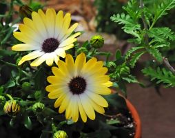 Spring daisys by lakecarole