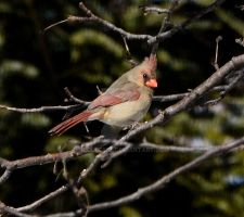 Northern Cardinal - female by IdolRebel