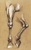 Horse leg anatomy by tirin54