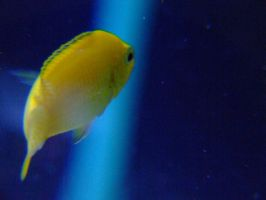 Yellow Cichlid in Blue by scorpionteam