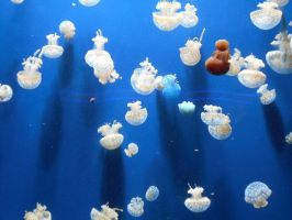Aquarium - Real Jellyfish by Flo996