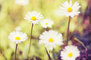Daisies by nomatterwhy