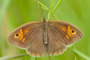 Meadow brown by andabata