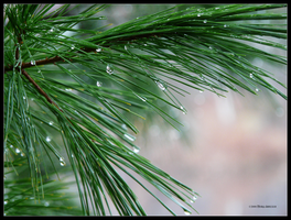 White Pine in the Rain by Mogrianne