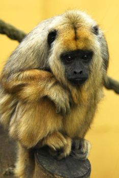 Howler Monkey - Chilly by Shadow-and-Flame-86