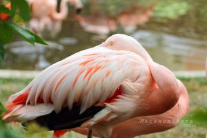 Curious Flamingo by thebreat