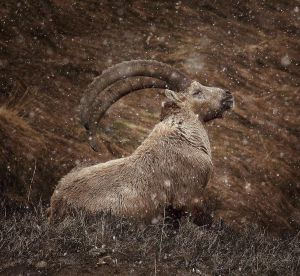 Ibex in the Snow by alexandre-deschaumes