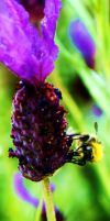 Bee on lavender by Sydney0007