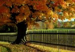 Golden Maple by barcon53