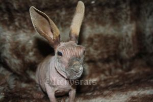 my mini kangaroo by Itchys-rats
