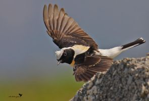 Black-eared wheatear by ardanuc