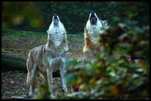 Howling Duo by amrodel