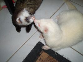Ferret Kiss by kate44