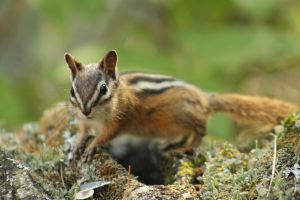 Chipmunk 4 by I-Heart-Photos
