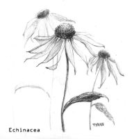 Echinacea by overcome