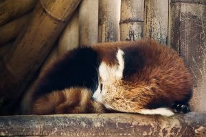 Red Panda * by linneaphoto