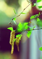 birch flowers by jagerion