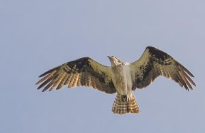 Lake Tahoe Osprey140506-115 by MartinGollery