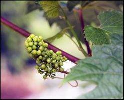 ENGLISH Grapes by sags