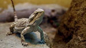 Bearded Dragon WideScreen by MichelLalonde
