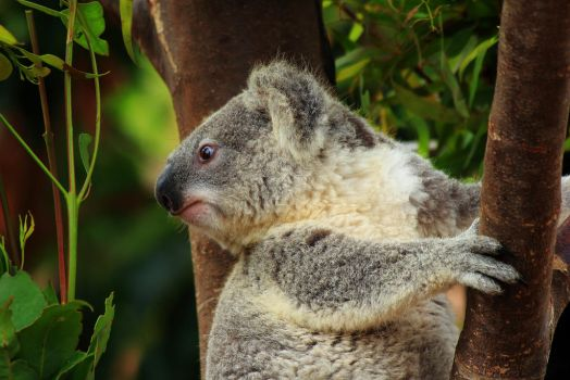 Koala looks to the New Year... by Celem