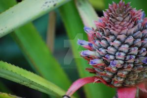 Pineapple blooming 074 by rjsproductions