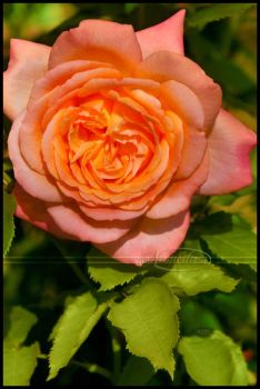 Chamuel's Rose by Nameda