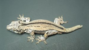 Male Gargoyle Gecko 1 by ReptileMan27