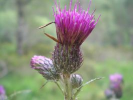 Thistle by Meet-me-in-space