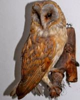 Older Barn Owl by CaptainSaviathan