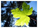 Leaf 1.1 by chiliebo