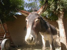 The mule which makes a wink by about-zero