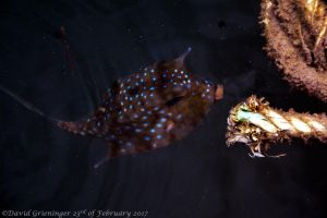 Longhorn Cowfish by DavidGrieninger