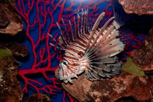 Lionfish by Piebald111
