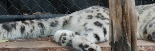Snow Leopard Panorama Stock by SabrinaFranek
