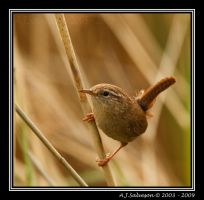 Wren In The Reeds by andy-j-s