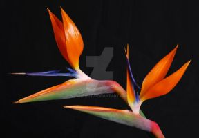 Bird of Paradise by proshot