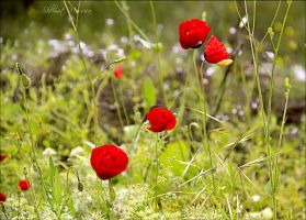 Red and delicate by ShlomitMessica