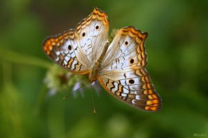 Butterfly Kisses by Doumanis