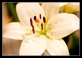 Oriental Lilly by chefjack