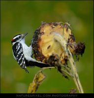 Downy Woodpecker 'Male' by Sonny2005