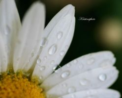 daisy and drops by Kristinaphoto