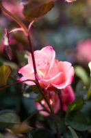 Pink Rose by fahadee