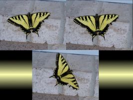 Swallow Tail Photos by AmandaTaylor