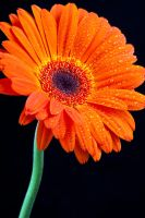 Orange Gerbera by ziw-monster