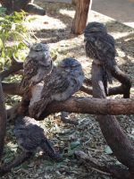 Tawny Frogmouths by JolanthusTrel